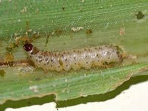 Larvae of maize stem borer creamy-white to yellowish-brown, with dark-brown spots on back. About 25 mm long when fully grown. (NBAIR)