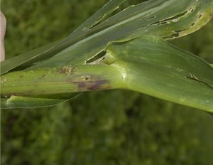 Bore holes by larvae on the stem near the nodes. (S. Eyres, Department of Agriculture WA)