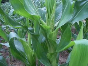 Maize affected by the stem borer feeding inside (IITA, CC BY-NC)