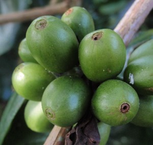 Perforations on fruits (CABI)