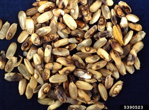 Milled rice grains showing symptoms of infection (Donald Groth, Louisiana State University AgCenter, Bugwood.org)