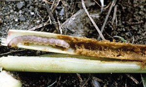 Larva feeding on maize stem (Photo: International Institute of Tropical Agriculture, Flickr)