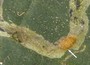 <i>L. trifolii</i> visible within the leaf mine (NBAIR)