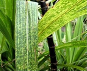 Mosaic streaks on sugarcane leaves due to later infection of SCMV. (Photo: Scot Nelson, Hawaii.)