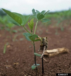 Attacks in the seedling stage usually cause wilting and death (Merle Shepard, Gerald R.Carner, and P.A.C Ooi, Insects and their Natural Enemies Associated with Vegetables and Soybean in Southeast Asia, Bugwood.org)