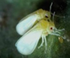 Adults white fly of about 2 mm (Photo by I D. Bedford)