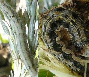 Cotton bollworm larva on maize, with lighter colouring (left) and darker colouring (right). Feeds on maize cob (Léna Durocher-Granger, CABI)