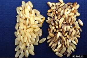 Healthy (left) and infected (right) rice seeds (Donald Groth, Louisiana State University AgCenter, Bugwood.org)