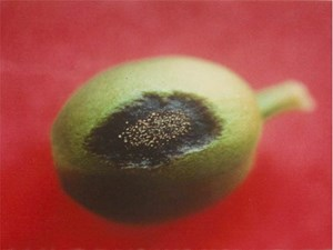 Berry with black lesions and visible fungal spores (Vitor Várzea)