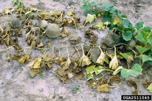 Severe whitefly damage to melon. Photo: David Riley, University of Georgia, Bugwood.org, CC BY