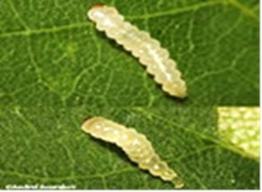Leaf miner larvae (3mm) before they begin to tunnel into the leaf (Source: Andrei Sourakov)