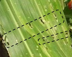 Lines of holes in leaves made by the stalk borer (Photo A. Bruntse, BioVision)