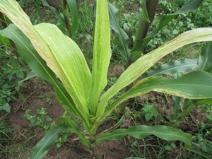 Chlorotic mottle on leaves and stunting  of the plant (Peter Kodwaran, Ministry of Agriculture Livestock and Fisheries (MoALF), Kenya)