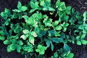 Yellowing (chlorosis) and distortion of the leaves (Scottish Crop Research Institute)