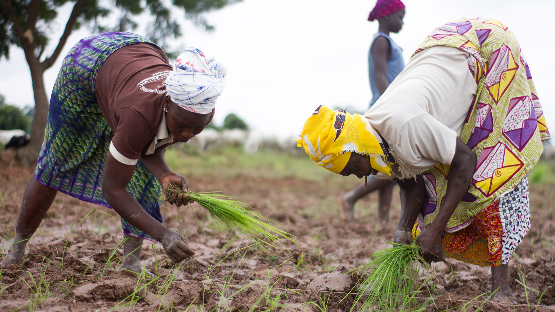 Two female African farmers in a field