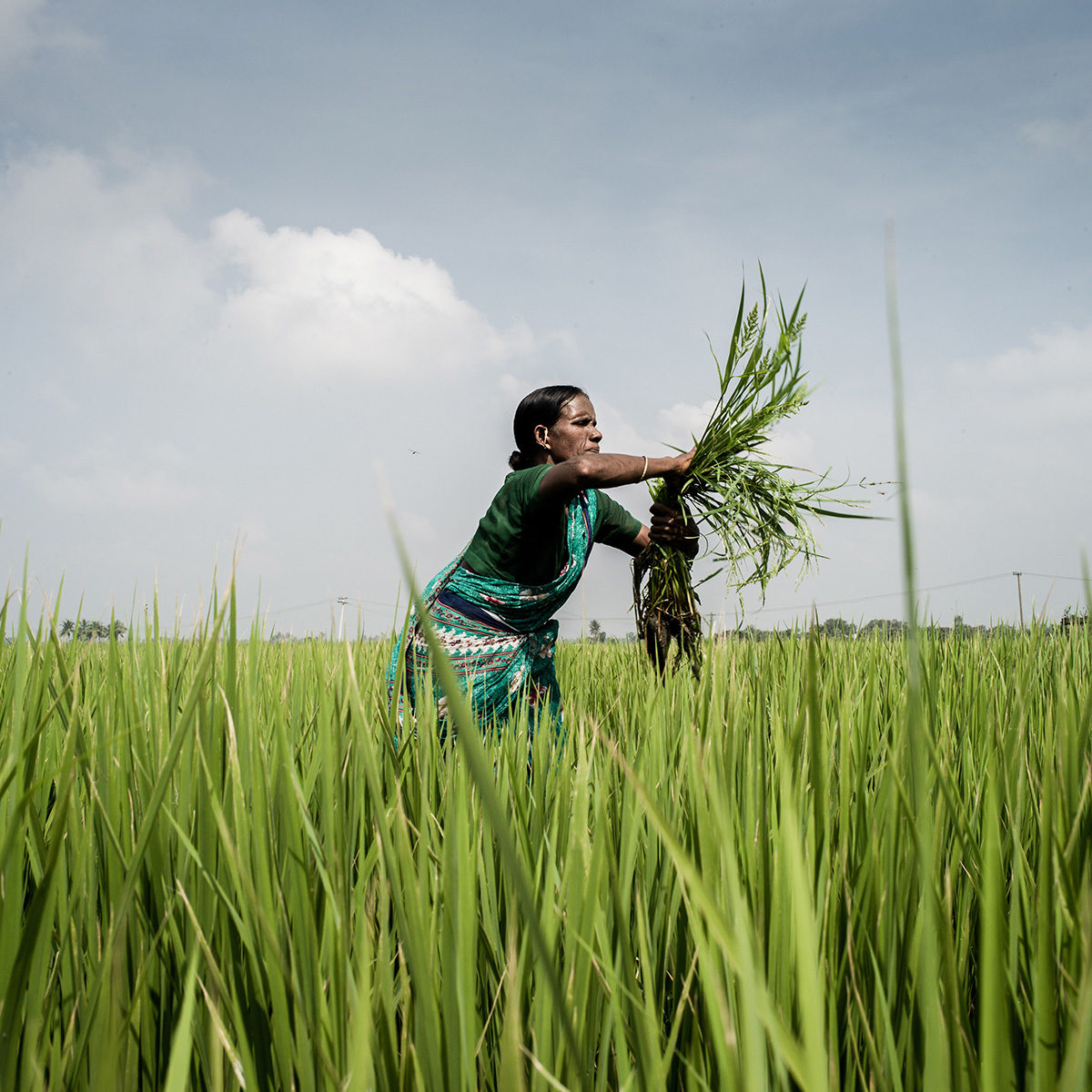 Female farmer in a rice paddy in India