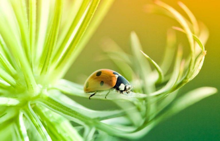 Biopesticides portal ladybird